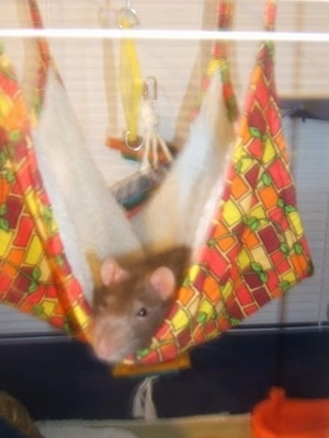 A brown with white rat is laying in a colorful hammock inside of its cage. It is looking forward.