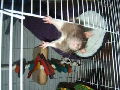 Close Up - A brown with white rat is laying in a fluffy purple bed hanging from the top of a cage. The rat is making its way out of an open cage door.