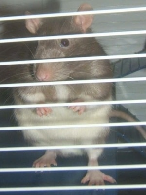 A brown with white rat is standing on its back legs and it is looking out of the cage it is in. It is looking forward.