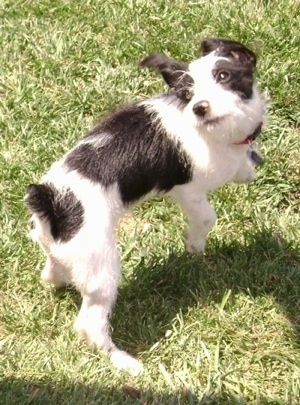Wally the Ratese (Rat Terrier / Maltese hybrid) at 8 months old.