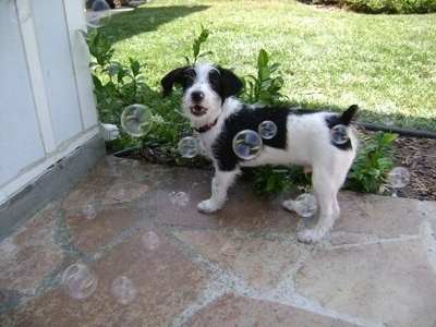 The left side of a black and white scuffy looking Ratese dog that is standing on a stone porch. Its mouth is open and it is looking at bubbles being blown across its face.