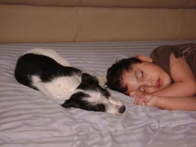 A black and white Ratese is laying on a bed next to a sleeping boy.