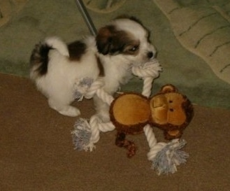A tiny white with black and tan Ratese puppy is standing on a rug and it is pulling the rope arms of a monkey toy.