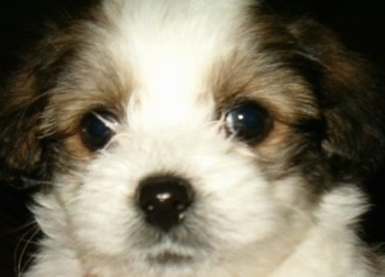 Close up head shot - A white with black and tan Ratese puppy is looking forward. It has large round black eyes.