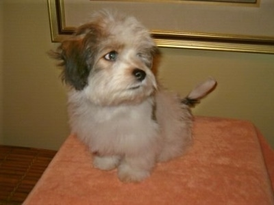 A furry soft looking little white with black and tan Ratese puppy is sitting on an elevated platform that is looking up and to the right.