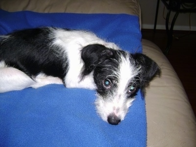 Wally a 5 month old Ratese (Rat Terrier / Maltese hybrid).
