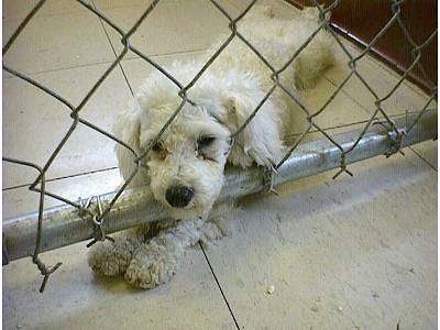 A white Puppy is sitting near a fence with its head through one of the holes