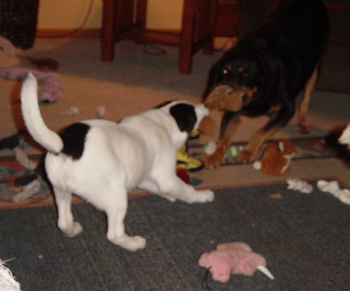 A white with black Rottaf puppy is having a tug-of-war with his Rottweiler friend.