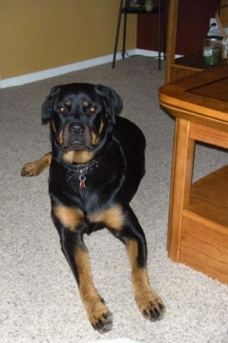 Front view - A black and tan Rottweiler is laying on a tan carpet and it is looking forward. There is a coffee table to the right of it.