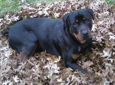 A black and tan Rottweiler is laying in a pile of brown fallen leaves looking up. Its head is tilted to the left.