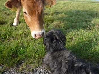 Elly, the Bolonka-Zwetna nose to nose with a cow