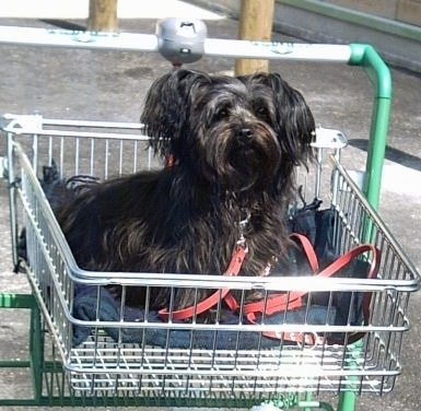 A small breed black Russian Tsvetnaya Bolonka dog sitting in a shopping cart and it is looking forward.