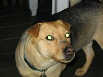 Close up front side view - A large, tan and black dog is standing across a hardwood porch, its body is facing towards the left, but its head is turned to the right and it is looking forward. The dog has small v-shaped fold over ears.