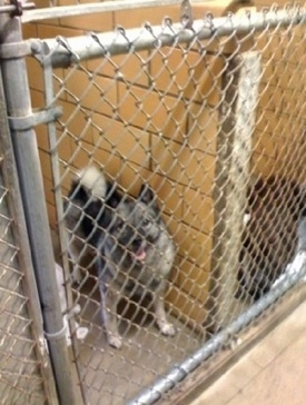 A black, grey and white Norwegian Elkhound is standing behind a chain link kennel gate in a SPCA building. It is looking up and its mouth is open.