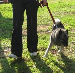 A person is attempting to walk a black, grey and white Norwegian Elkhound across a field. The dog is pulling to the right.