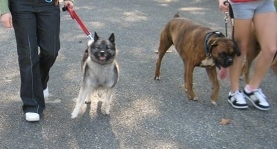 A person is walking a black, grey and white Norwegian Elkhound and across from them there is a person walking a brindle Boxer. The Boxer is relaxed and heeling and the Elkhound is stressed and pulling hard.