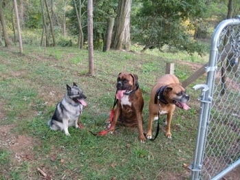 A black, grey and white Norwegian Elkhound and a brindle Boxer are sitting in grass on the opposite of a gate. Next to them is a standing brown with black and white Boxer. All of the dogs are panting.