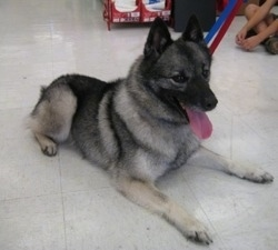 Rescuing Tia the Keeshond/Elkhound mix from a SPCA