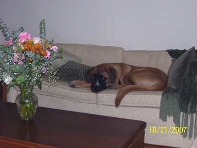 The left side of a brown with black and white Saint Bermastiff that is laying down on a tan couch, there is a green pillow in front of it and behind it is a green blanket draped on the arm. There is a wooden coffee table in front of it with a vase of colorful flowers in it.