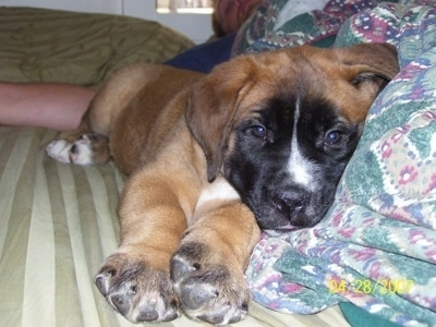 Bowser the St. Bernard/English Mastiff hybrid puppy at 8 weeks old.