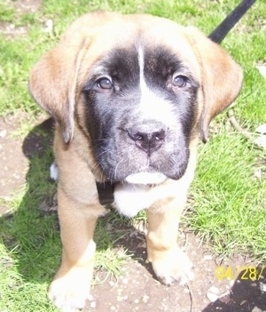Close up front view - A small brown with black and white Saint Bermastiff puppy is sitting in grass and it is looking up.