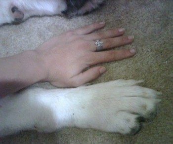 A persons hand is placed next to the dogs paw. The paw and the hand are the same size.