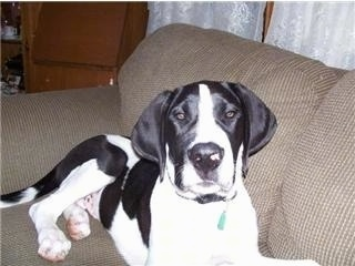 Front view - A black and white Saint Dane that is laying across a tan couch and it is looking up. The dog has a large head compared to its body.