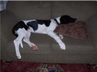A large black and white Saint Dane puppy is sleeping on top of a green couch and its head is on a brown pillow.