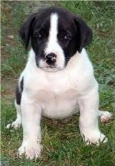 Close up front view - A wide chested, black and white Saint Dane puppy is sitting in grass and it is looking up.