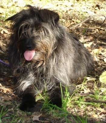 Front view - a shaggy, long-coated, black and gray Schipese dog laying in grass looking forward. Its mouth is open and its tongue is out.