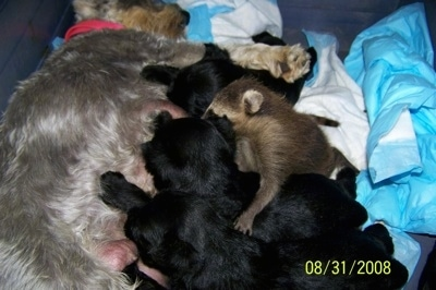 Rosie the Miniature Schnauzer is nursing a litter of puppies and also a raccoon