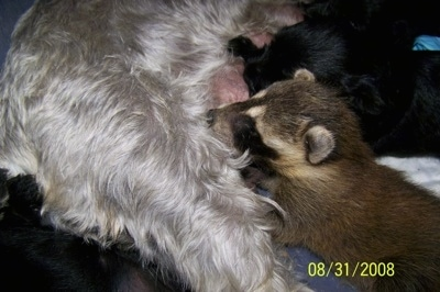 A Baby Raccoon and A Mini Schnauzer are nursing next to each other