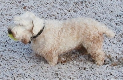 The left side of a dirty, low to the ground, white Sealyham Terrier that is standing in snow with a tennis ball in its mouth.