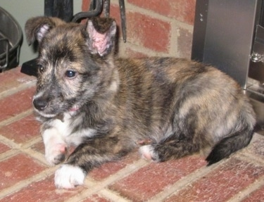 A black and tan brindle with white Shelestie puppy is laying in front of a fireplace across a brick surface and it is looking to the left. Its ears are standing up, but folded over to the front at the tips. It has white on its paws.