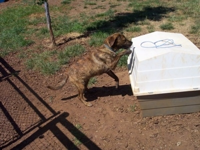 The right side of a brown Brindle Labrador mix is climbing onto a dog house.