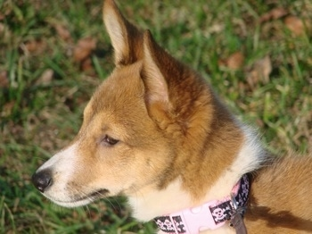 Close up head shot - The front left side of a perk eared, tan and white Sheltie Inu puppy that is standing in grass.