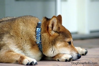 The front right side of a thick-coated, tan with white Shiba Inu that is laying down on a brick surface.