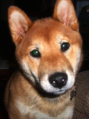 Close up - A red sesame Shiba Inu is standing next to a couch, it is looking forward and its head is tilted to the left. It has a thick coat, small perk ears, wide round eyes and a black nose.