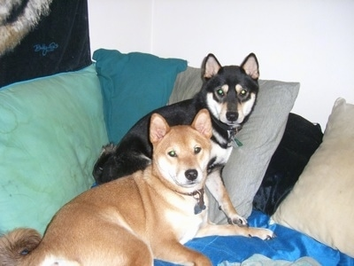 Two dogs with small perk ears and thick coats - A black with tan and white Shiba Inu is standing against pillows on the arms of a couch. There is a brown with white Shiba Inu laying in front of it.