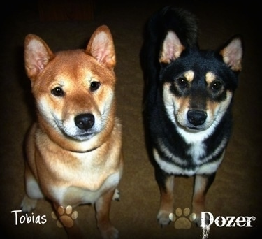 A red sesame Shiba Inu is sitting next to a black and tan Shiba Inu that is standing up. They both are looking up. The word - Tobias - is overlayed on top of the left most dog and on the other side the word - Dozer - is overlayed on top of the right most dog.