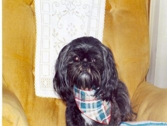 A longhaired black with white Shih-Tzu is wearing a plaid bandana, it is sitting in an arm chair and it is looking forward.