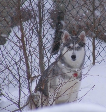 A grey and white Siberian Husky is sitting in snow outside in between a small bare tree and a chainlink fence. It is actively snowing in the image. The dog has blue eyes and it looks like a wolf.