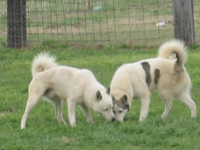 Two Siberian Laikas are sniffing the grass in front of them. They have tails that curl up over their backs.