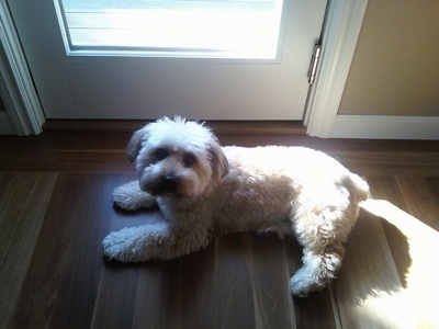 Top down view of a brown with tan and black Silkchon dog laying across a hardwood floor and it is looking up. There is a closed door behind it with sun shining in.