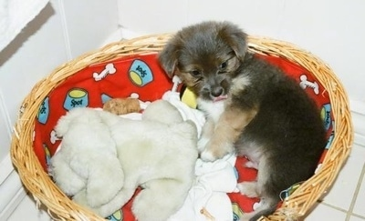 A little fluffy, black with tan and white Silkese puppy is laying across the back of a wicker basket, its mouth is open and it is looking forward. There is a couple plush bears in front of it.