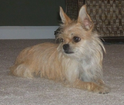 Front side view - A tan with white Silkin is laying across a carpet and it is looking to the left. It has large pointy perk ears.
