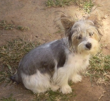 The right side of a white and grey Silky Jack puppy sitting across a patchy dirt and grass lawn looking up with its head slightly tilted to the right. It has short hair on its back and longer scruffy looking hair on its head.