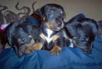 Three black with tan and white Silky-Pin puppies are lined up in a row sitting and laying on a blue blanket.