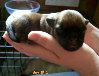 The right side of a newborn tan with black Silky Pug puppy that is laying in a persons hands and its head is over the edge of the hand. The words 'Boy #1 is overlayed in the image'