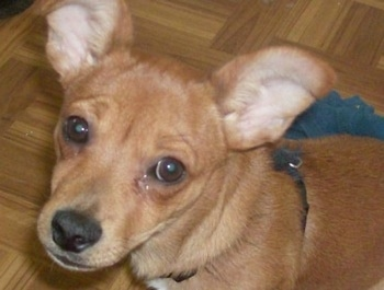 Close up head shot - A shorthaired, brown Silkyhuahua puppy is sitting on a hardwood floor looking up with its head slightly tilted to the right. It has large perk ears that come to a point out to the sides.